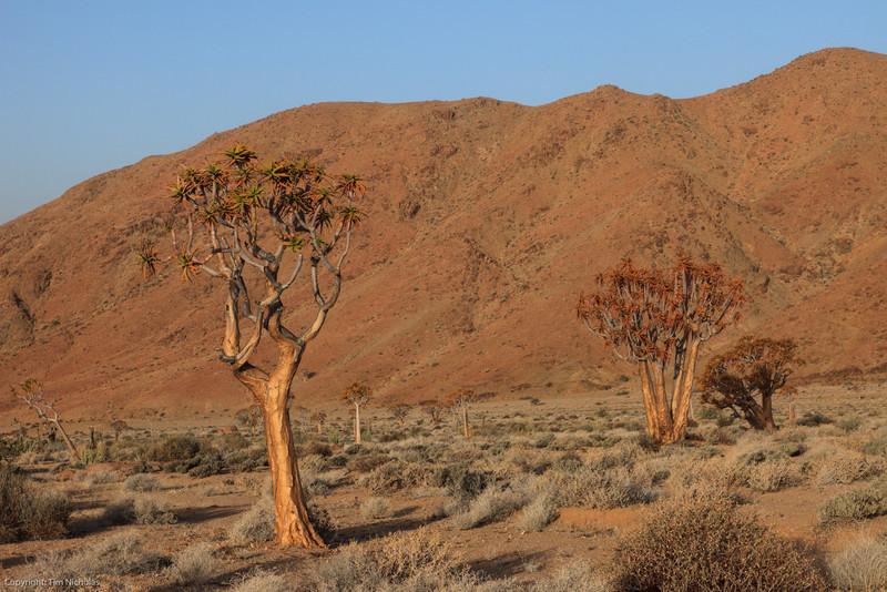 Kokerboom trees in Kokerboomkloof