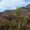 Proteas in the Swartberg Pass
