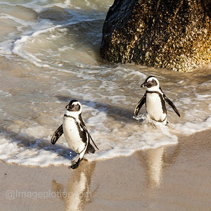 African Penguins at Boulders Beach,  Cape Peninsula, South Africa