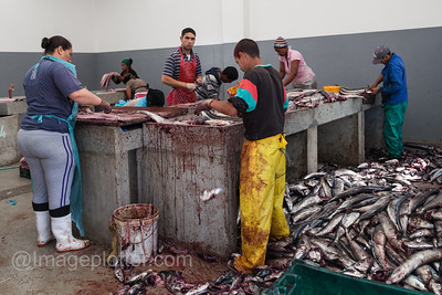 Workers Gutting Freshly Caught Fish at Hout Bay, Cape Peninsula, South Africa