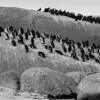 African Penguin Colony, Boulders Beach, Cape Peninsula, South Africa