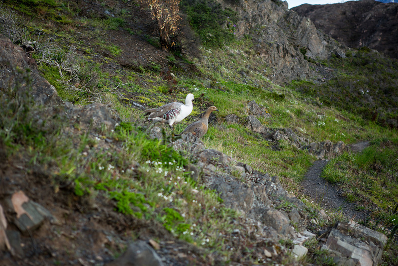 Two ducks taking a morning stroll.