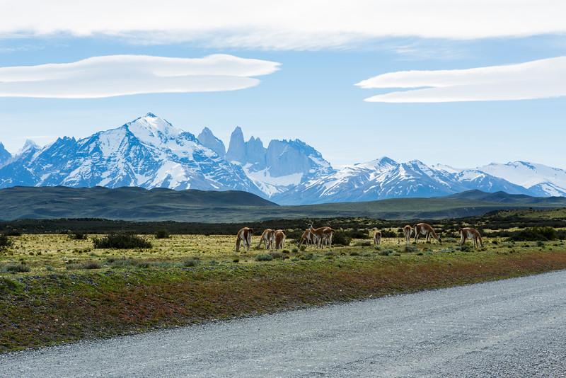 A herd of guanacos!