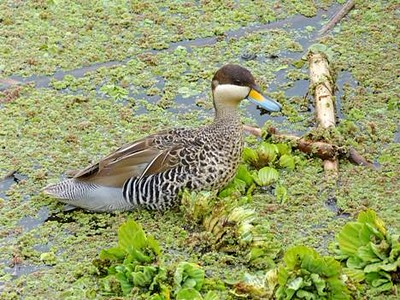 Male Silver Teal, Buenos Aires