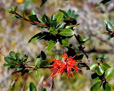 Notro (Chilean Firebush)