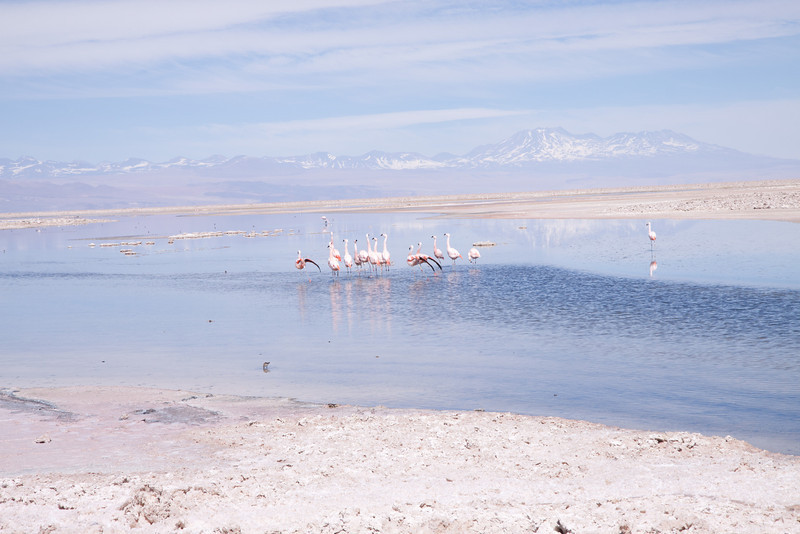 Andean flamingos practicing their mating dance  in the Atacama salt flats under the watch of the Andes.