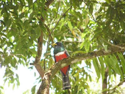 Collared Trogon by Dave Larson