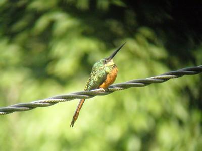 Rufous-tailed Jacamar by Dave Larson