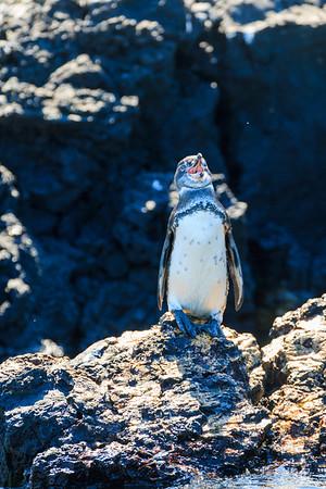 Galapagos Penguin