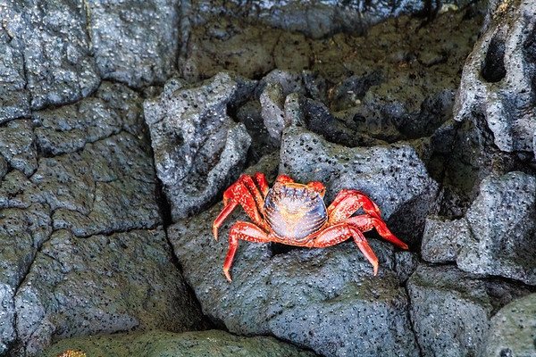 Sally Lightfoot crab, Las Tintoreras