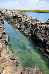 White-Tipped Reef Sharks, Las Tintoreras