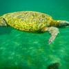 Sea Turtle, Los Tuneles