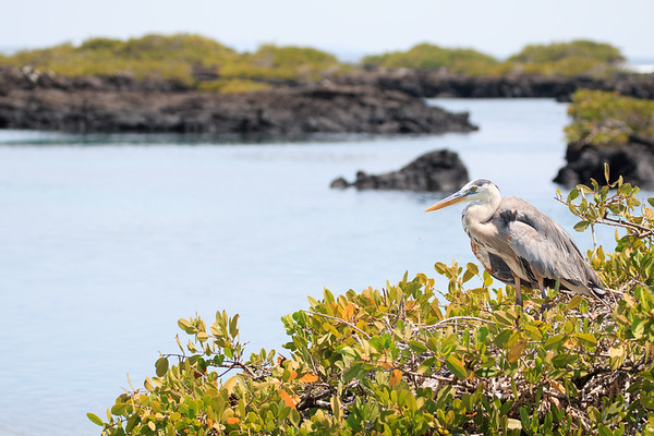 Nesting Blue Heron, Los Tuneles