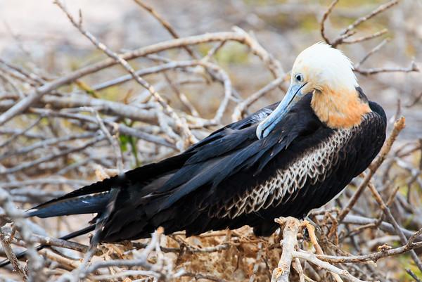 Frigate Bird, North Seymour