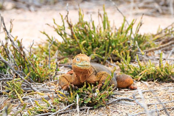 Land Iguana, North Seymour