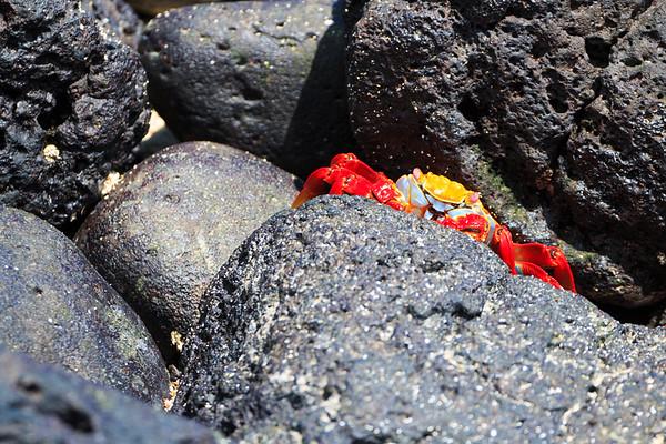 Santa Fe Sally Lightfoot Crab