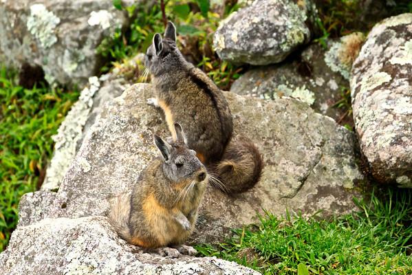 Viscachas at Machu Picchu