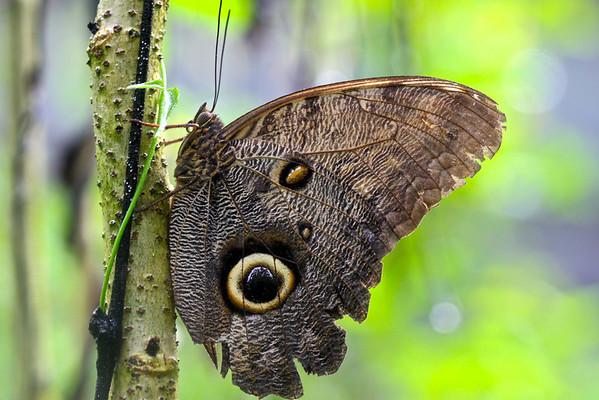 Tambopata moth