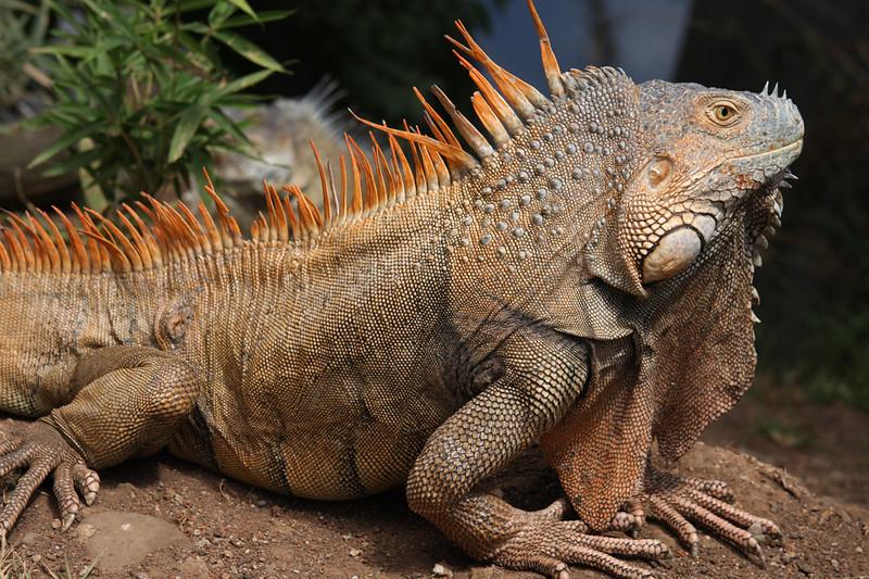 Costa Rican iguana, Sarapiqui