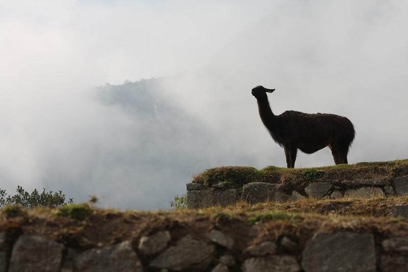 A Machu Picchu sentinel
