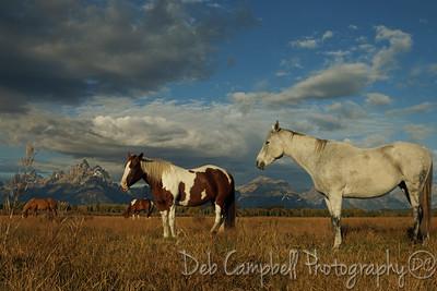Herd of horses graze in front of the Tetons. Grand Teton National Park
