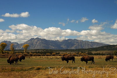 Bison herd in the tetons Grand Teton National Park