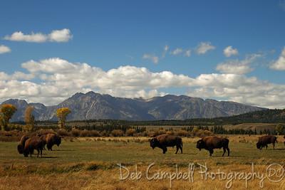 Bison herd in the tetons Grand Teton National Park