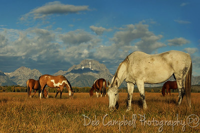 Herd of horses graze in front of the Tetons. Grand Teton National Park