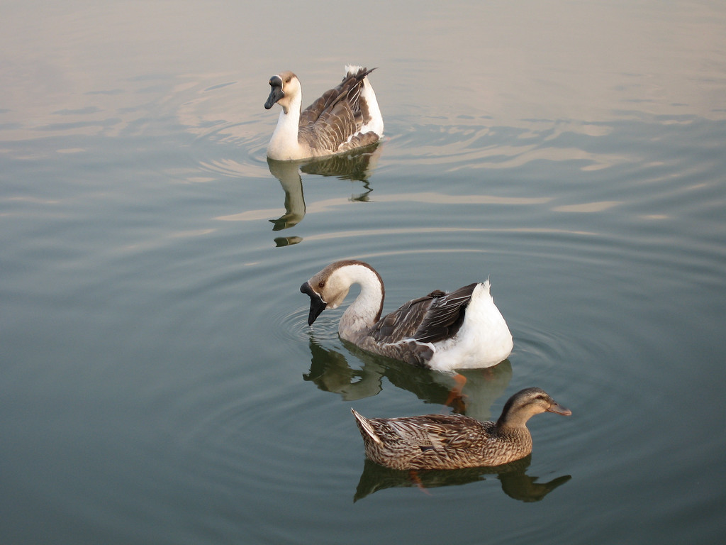 Ducks at Ilsan Lake Park