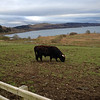 Cow. Probably at Loch Melfort Hotel.