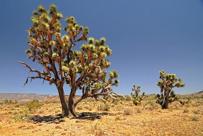 Joshua Trees near Dolan Springs, AZ