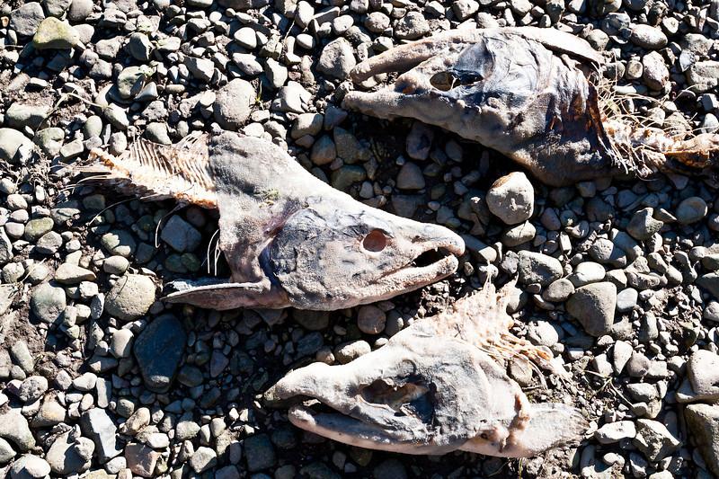 salmon skulls