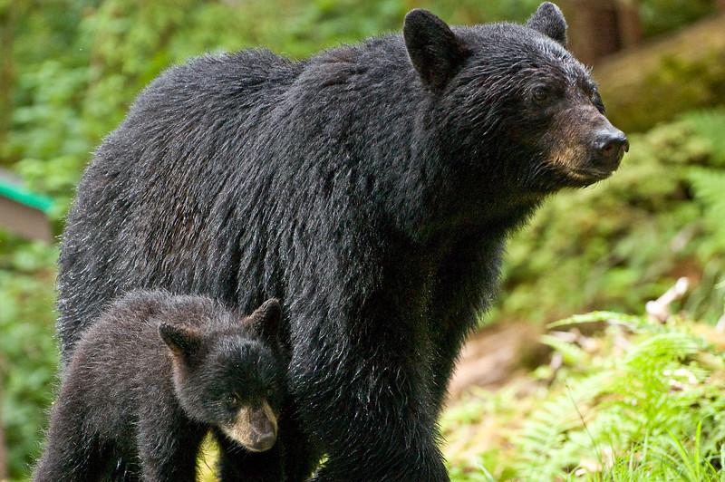 Shy black bear cub seeks the shelter of mother bear