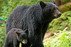 Shy black bear cub seeks the shelter of mother bear
