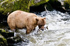 Brown bear with a fresh pink salmon from the falls at Anan Creek
