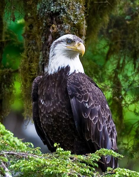 Bald Eagle, Anan Creek Alaska