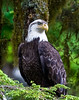 Bald Eagle, Anan Creek Alaska