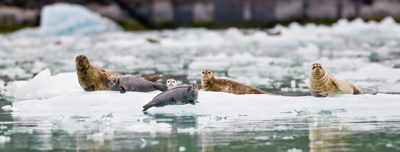 LeConte Bay is home to one of the largest harbor seal nurseries in Alaska