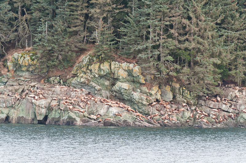 Sea Lions, Inside Passage