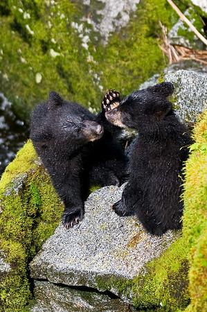 Black bear cubs, Anan Creek, Alaska