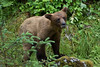 Juvenile brown bear at Anan Creek