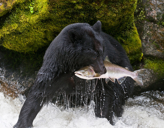 black bear with pink salmon catch - one bear will eat 50 salmon a day during the salmon run