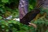 Bald Eagle, Anan Creek