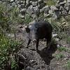 A garden pig.
