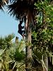 Making palm sugar along the road to Banteay Srei outside of Siem Reap