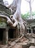Banyon tree at Ta Prohm near Siem Reap