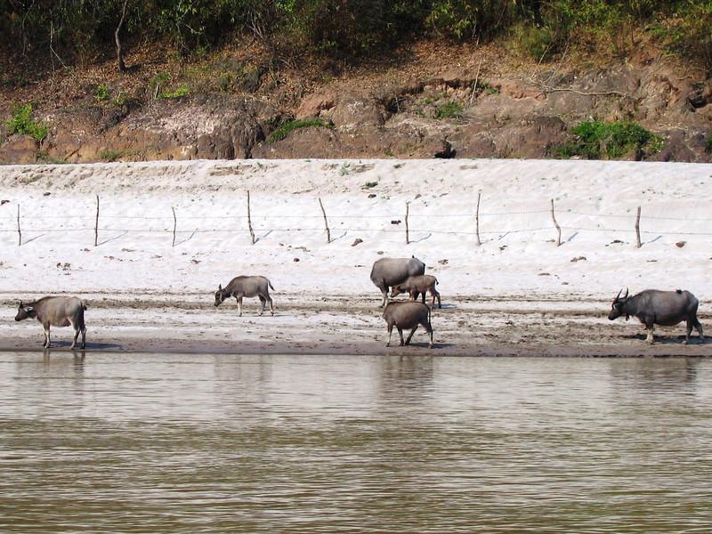 Water buffalos, Me Kong River outside Luang Prabang