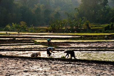 Planting Rice- Vietnam