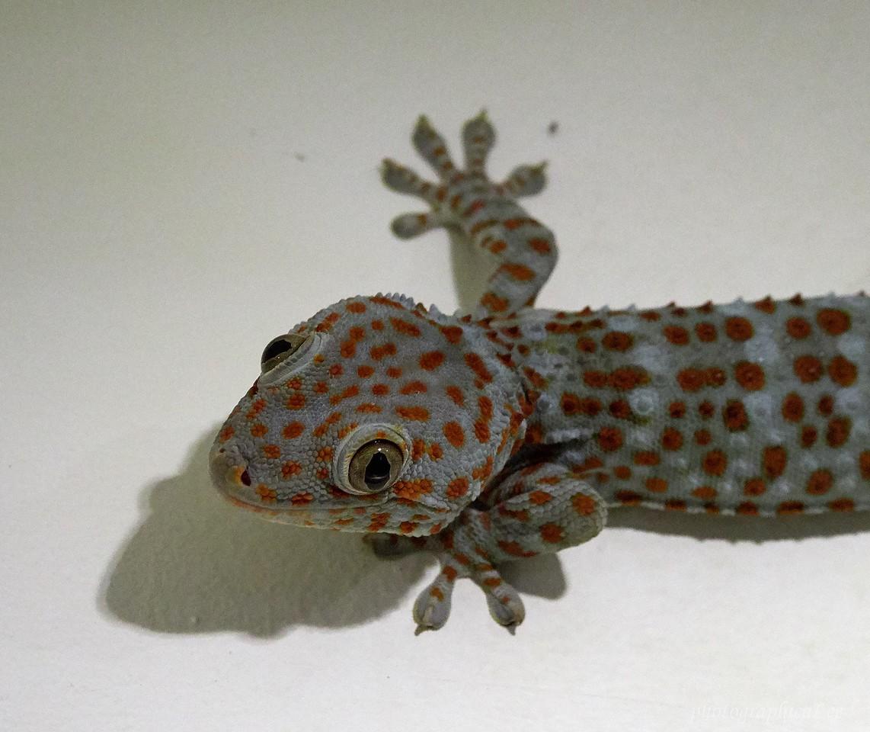 Gecko on a restaurant wall