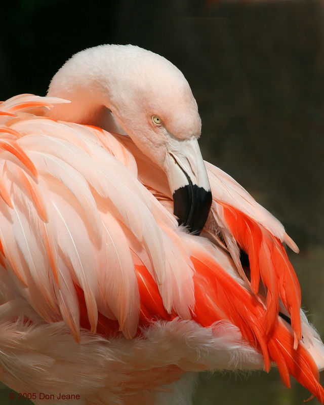 Flamingo - Ellen Trout Zoo, Lufkin.